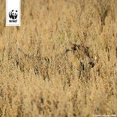 Könnt ihr erkennen, welches Lebewesen sich hier versteckt? Unser Tipp: Das Tier lebt in Afrika, hat einen verhältnismäßig großen Kopf und ausgeprägte Eckzähne, mit denen es sogar Geparden vertreiben kann.