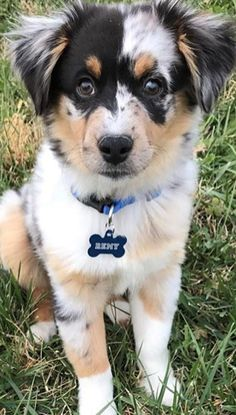 Australian Shepherd Puppy - Cats and Dogs House Australian Shepherd Puppies, Aussie Puppies, Cute Puppies, Cute Dogs, Dogs And Puppies, Australian Shepherds, Doggies, Animals And Pets, Baby Animals