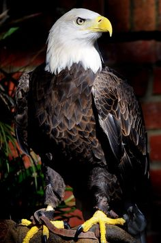 Eagle Images, Eagle Pictures, Bird Pictures, Cute Baby Animals, Animals And Pets, Beautiful Birds, Animals Beautiful, Eagle Artwork, Aigle Animal