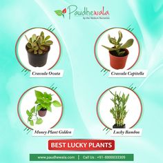 Buy Lucky Plants Online In Delhi - Shop from the Best Online Plant Nursery Golden Bamboo, Online Plant Nursery, Lucky Plant, Buy Plants Online, Money Plant, Crassula Ovata, Lucky Bamboo, Cool Plants, Nurseries