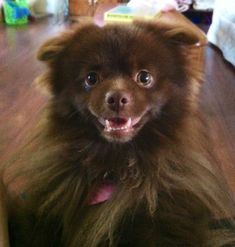 Chocolate Pomeranian Lafayette grinning :)