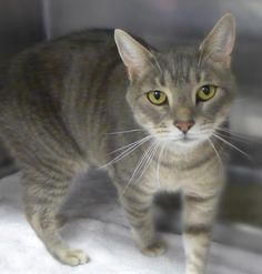 Quinn an adoptable Tabby looking for a forever home!