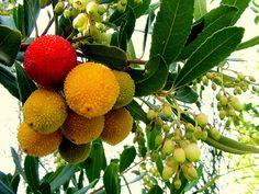 Corbezzolo fruit, from Sicily- Italy