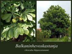 Balkaninhevoskastanja - puulajipuisto