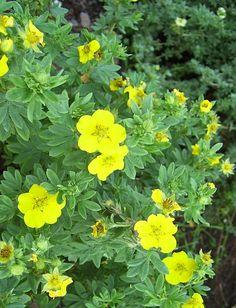 Potentilla Dakota sunspot; drought resistant