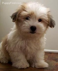 Coton de Tulear this looks just like teddy!