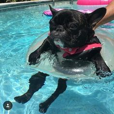 A relaxing day in the pool! @miss_zoe_the_frenchie #batpig #