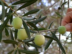 Olives that are ready for harvest, from Coín (Málaga) - Spain. Malaga Spain, Andalusia, Olives, Countryside, Harvest, Beautiful, Sevilla Spain
