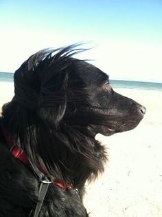 Bear, our flat coated retriever / border collie mix at Middlesex Beach, Delaware