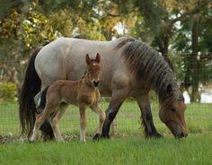 Draft mum and foal