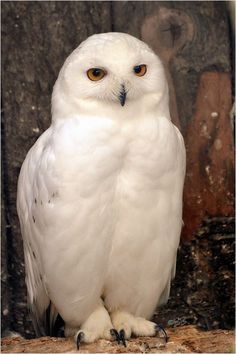 Snowy Owl (Bubo scandiacus) an Arctic Owl found in North America and Europe Beautiful Owl, Animals Beautiful, Cute Animals, Owl Photos, Owl Pictures, Owl Bird, Pet Birds, Owl Artwork, Snowy Owl