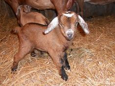 Congratulations to Momma Goat Jane in Pleasant Shade, TN, who had her twin baby boys this morning. Both happy and healthy and born during a major rain storm! Twin Baby Boys, Twin Babies, Baby Boy Themes, Nursery Themes, Congratulations Baby Boy, Best Baby Blankets, Trendy Baby Clothes, Baby Boy Outfits, Baby Names