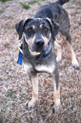 Rosie - cat friendly is an adoptable Catahoula Leopard Dog Dog in Watertown, CT. Rosie has a very sad start to life. She was living the mean streets of a big city with her sweet puppies, but unfortuna...