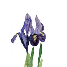 Iris at print of  original watercolor painting , in purple, mauve and green, Plants, Botanical painting, February birthday, mothers day