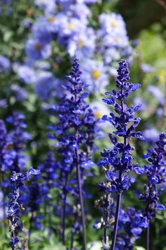 Blue flowers - salvia farinaceae with aster Flora Flowers, Exotic Flowers, Wild Flowers, Beautiful Flowers, Back Gardens, Outdoor Gardens, Blue And Purple Flowers, Mediterranean Garden, Dream Garden