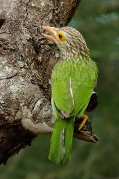 Birds in Thailand: Lineated Barbet
