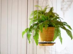 Boston Fern Care: How To Take Care Of A Boston Fern Snake Plant Images, Fern Images, Indoor Ferns, Best Indoor Hanging Plants, Boston Ferns Care, Types Of Houseplants, Cactus Types, Large Plants, Gerbera