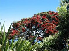 New Zealand Xmas tree aka Pohutakawa Seaside Art, Kiwiana, Xmas Tree, New Zealand, Arts And Crafts, Trees, Ocean, Craft Ideas, Amazing