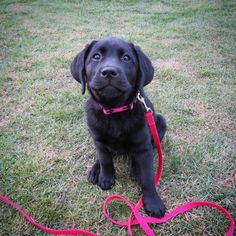 "1,252 Likes, 43 Comments - Mollie (littlebaby_labpup) (@littlemollie_blacklab) on Instagram: ""Excited for my first puppy daycare tomorrow I haven't been able to play with other puppies/dogs…"""