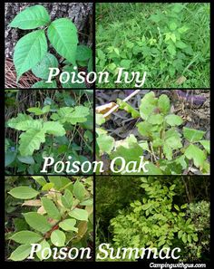 How to identify and treat Poison Ivy, Oak, and Sumac leaves Plants - Trend Camping Outfits 2020