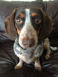 Everything We All Like About The Daschund Dogs Daschundlove