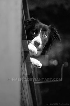 Border Collie Pup #bordercollie