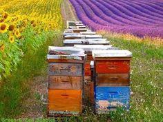 Abejas y lavanda - Bees and lavender