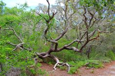 """The multi-tentacled """"tree monster"""" of Brooker Creek Preserve. Available in 4x6"""" to 20x30""""."""