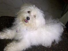 how-can-i-know-if-my-dog-is-a-coton-de-tulear-21676914.jpg (400×300)