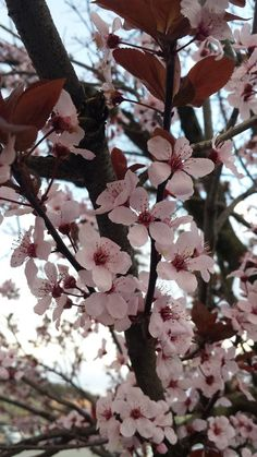 Pink Blossoms Photo by Ameerah A. -- National Geographic Your Shot