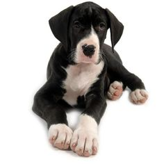 Great Dane Puppy Pictures ❤ liked on Polyvore featuring animals, dogs, pets, animali and puppies