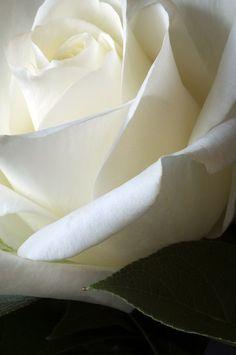 Rosas brancas...lindas ! love it...