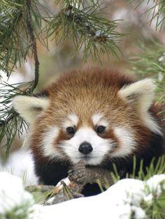 レッサーパンダ木の間から顔をのぞかせる姿