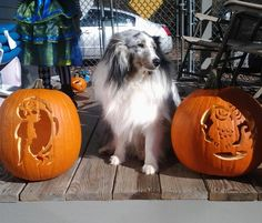 Sheltie posing with the pumpkins