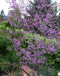 Thalictrum delavayii 'Hewitt's Double' AGM Clouds of fluffy mauve flowers on thin stems from June to August. basal clump of finely divided fern like leaves. Height 90cm. Spread 30cm. Moist soil in sun or part shade.