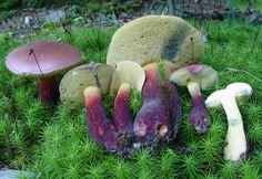 Beautiful blue-staining Bolete mushrooms~ Mushroom Photos - David Work Mushroom Photography