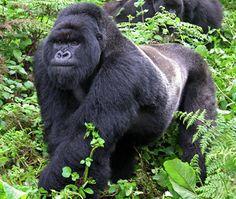 Male Silverback Gorilla Central Africa Primarily Herbivore Natural Lifespan: 30-40 yrs
