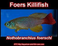 Foers Killifish - Nothobranchius foerschi