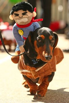 One dog even came as a horse. (She wasn't fooling anybody.) | 17 Incredible Pictures Of Costumed Sausage Dogs Racing Each Other