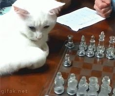 """Cat playing Chess.""""I have no idea what i'm doing"""""""