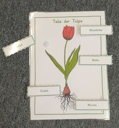 Die Teile einer Tulpe - KLETT Best Picture For Montessori Materials practical life For Your Taste You are looking for something, and it is going to tell you exactly what you are looking for, and you d Montessori Materials, Materials Science, Practical Life, Back To School, Homeschool, Beautiful Pictures, Told You So, Biotechnology, Tulips