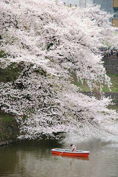 Cherry tree in full bloom, Chidori-ga-fuchi, Tokyo, Japan