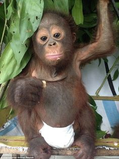 One of many: International Animal Rescue are keen to stress that Budi's story is not an is...