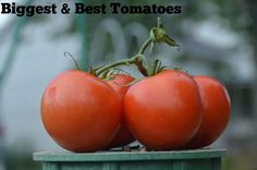 Genius ingredient list to grow the biggest and best tomatoes ever!!