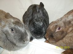 ~ Silver Fox Rabbits ~ All the colors here. From left to right, Blue, Black, Chocolate.