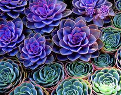 Succulents--I want these!  Purple and teal...