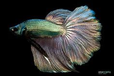 Betta Splendens by Chantal Wagner
