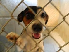 ADOPTED!! Bale - CRITICAL! is an adoptable Jack Russell Terrier Dog in Nashville, NC. ~ URGENT ~ This pet is at what is considered a high kill Shelter.  The Shelter is estremely small and the pets have very lit...