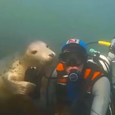 Seals are just dogs of the sea 😍🌊👀 Cute as can be but Still wild animals: this is a good way to get your regulator knocked out of your mouth. Cute to watch but do not recommend<br> Cute Funny Animals, Cute Baby Animals, Animals And Pets, Cute Dogs, Cute Babies, Wild Animals Videos, Cute Animal Videos, Cute Creatures, Animal Memes