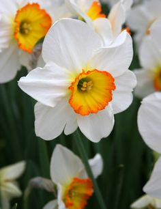 Large cup daffodil 'Flower Record.'
